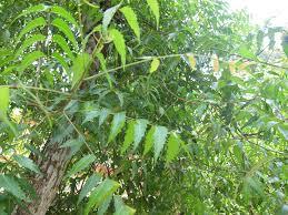 The Neem Tree Poem and Summary