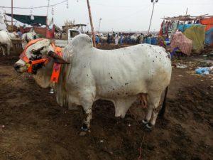 white bachra sohrab goth mandi