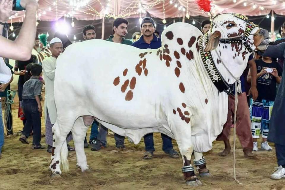 big bull for qurbani 2017