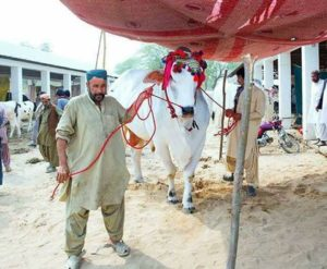 Sibbi king qurbani bull in pakistan
