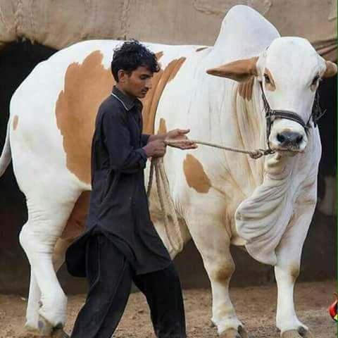 qurbani bull pictures