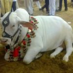 cow pics in pakistan 2017