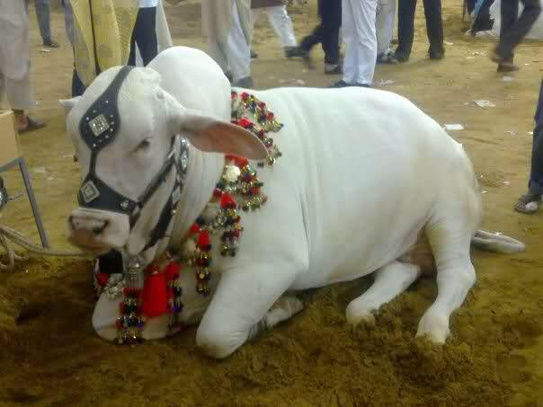 Qurbani Cow Pics in Pakistan 2017