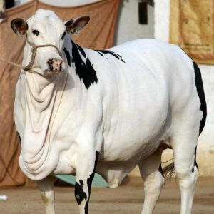 amazing white cow
