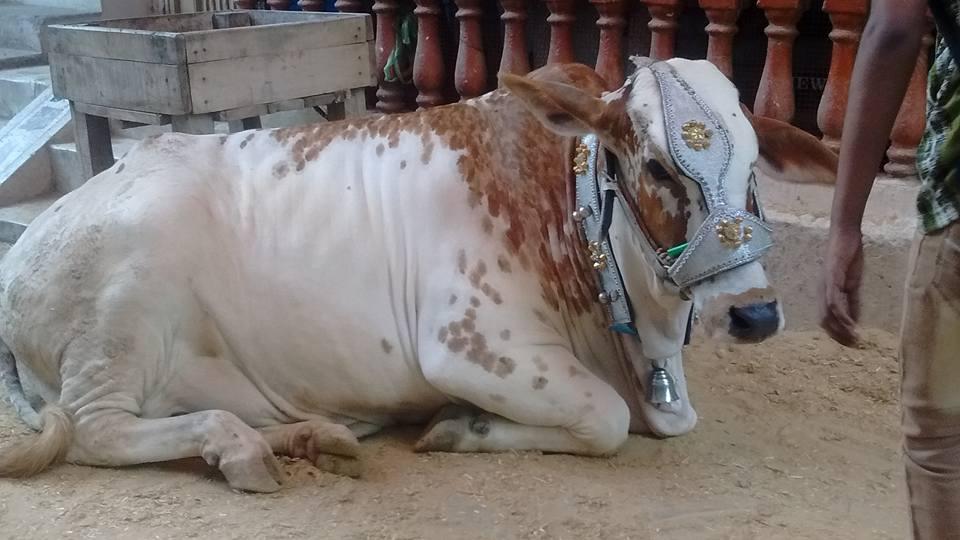 beautiful white qurbani bull