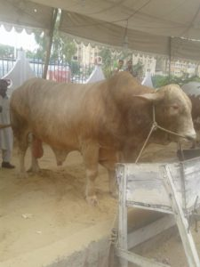 bhoori brown cow