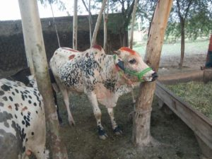 cow in village