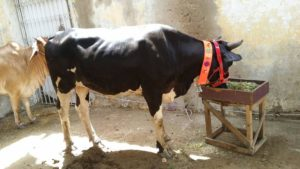 qurbani cow 2017 - photo #40