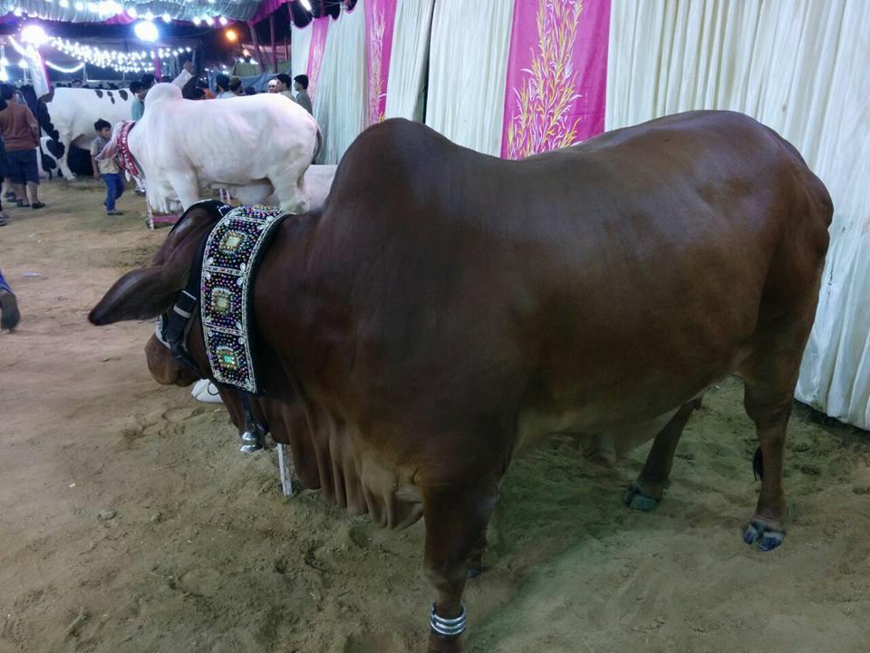 dark brown qurbani bull
