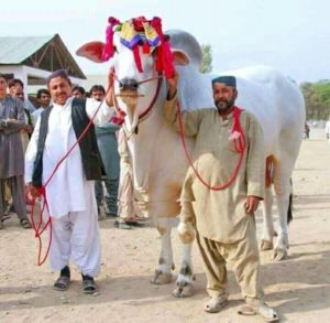 sibbi bull for qurbani 2017