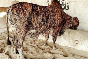 qurbani bull in pakistan
