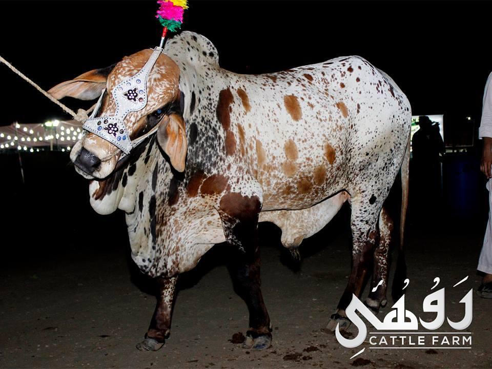 qurbani bull pics 2017