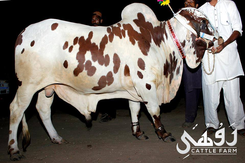 qurbani ox in pakistan 2017