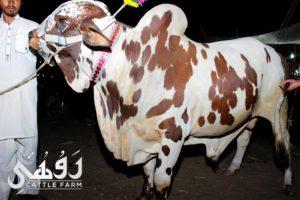 qurbani ox pictures