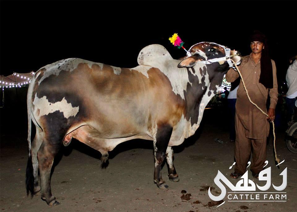 qurbani bulls in pakistan