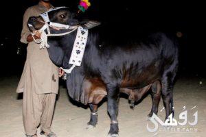 black beauty qurbani bull pic