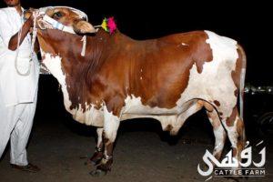 qurbani bull pictures 2017