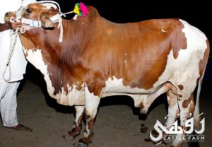 brown white qurbani bull pic 2017